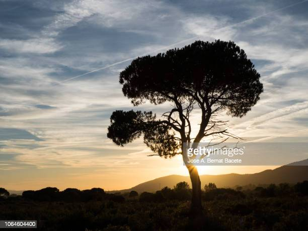 landscape with the silhouette of an alone solitary tree (pine tree) in a great plain, sunset  with high clouds of orange and yellow color. - kruin stockfoto's en -beelden