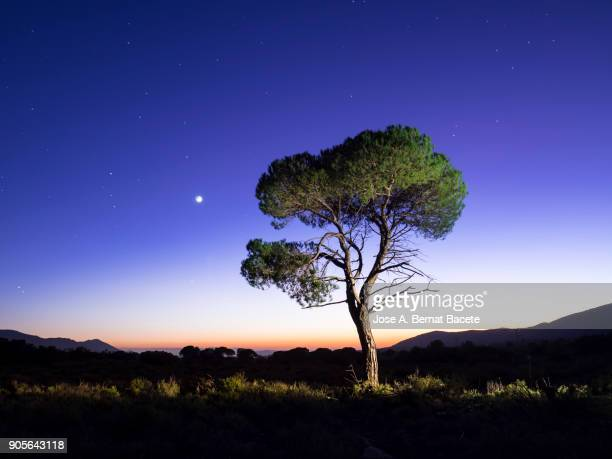 Landscape with the silhouette of an alone solitary tree in a great plain, one night with crepuscular light  with the full moon. Bocairent,  Valencian Community, Spain.