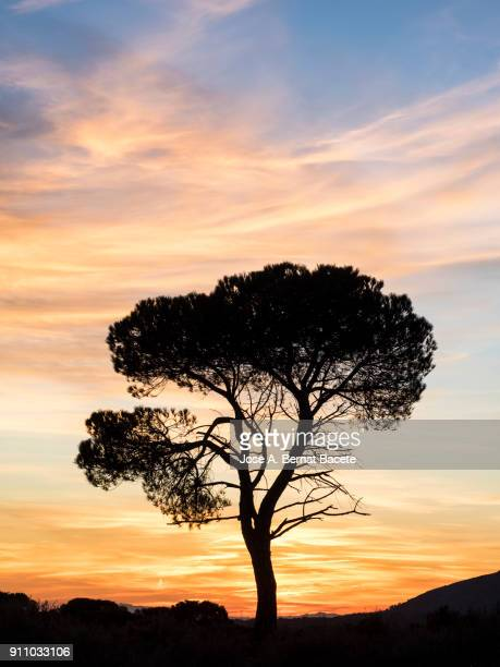 landscape with the silhouette of an alone solitary tree (pine tree) in a great plain, sunset  with high clouds of orange and yellow color. bocairent, valencian community, spain. - treetop stock photos and pictures