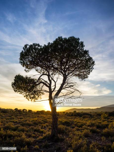 Landscape with the silhouette of an alone solitary tree (pine tree) in a great plain, sunset  with high clouds of orange and yellow color.