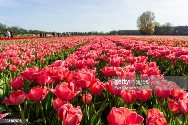landscape with tulip fields in the beemster polder - field of daffodils stock pictures, royalty-free photos & images