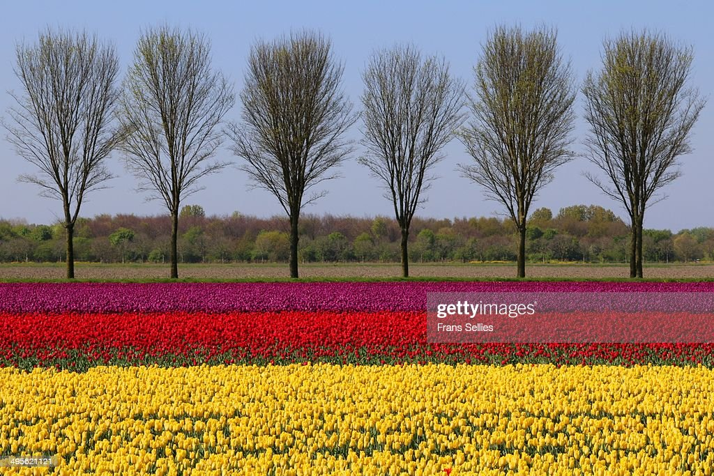 Landscape with tulips : Stockfoto