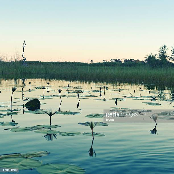 Landscape with water lilies  at dusk , Okavango Delta in Botswana.