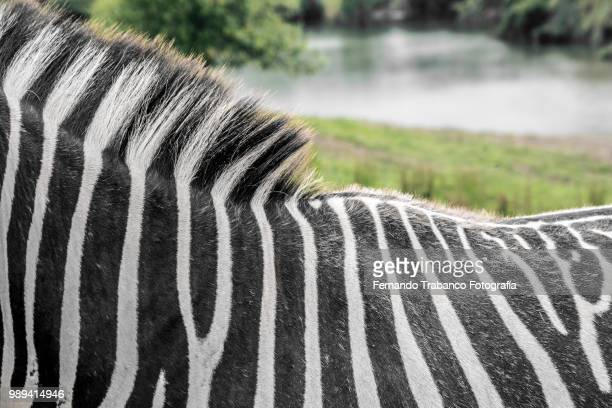 Landscape with zebras