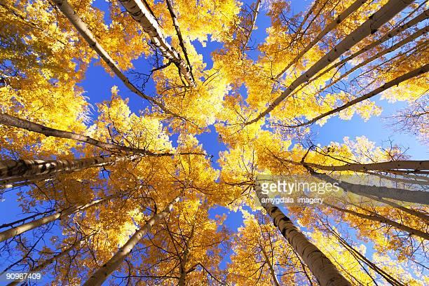landscape yellow autumn aspen trees