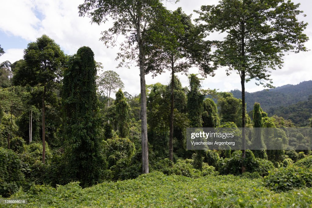 Landscaped forest, Sapulut-Kalabakan road, Borneo : Stock Photo