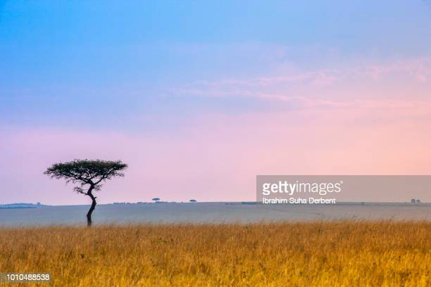 landscapeof a lone tree in the plainland with sunset in the background - wildlife reserve stock photos and pictures