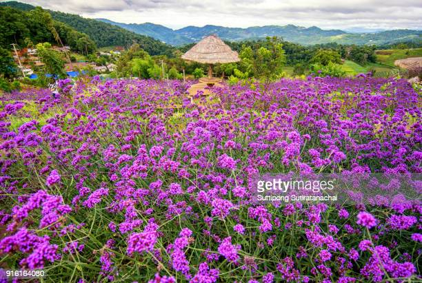 landscapes of purple verbena flower in mon jam and hill tribe , famous beautiful mountain in Chiangmai