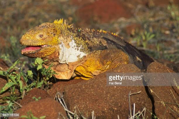 lang iguana - land iguana stock photos and pictures