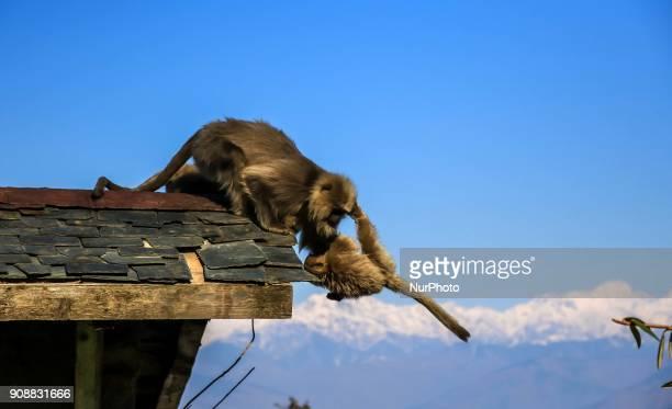 Langoors 'Monkey' at Dalhousie town of Chamba District Himachal Pradesh India 22 Jan2018The Dalhousie is a hill station in Himachal Pradesh...