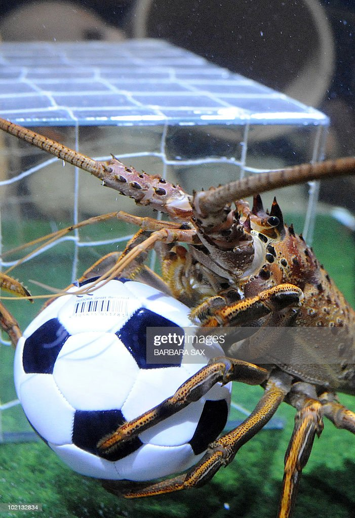 A langoustine holds a football in its basin decorated like a soccer pitch on June 16, 2010 at the Sea Life aquarium in Berlin. During the FIFA Football World Cup which is taking place until July 11, 2010 in South Africa, the langoustines get every afternoon a small football filled with sardines in their aquarium.