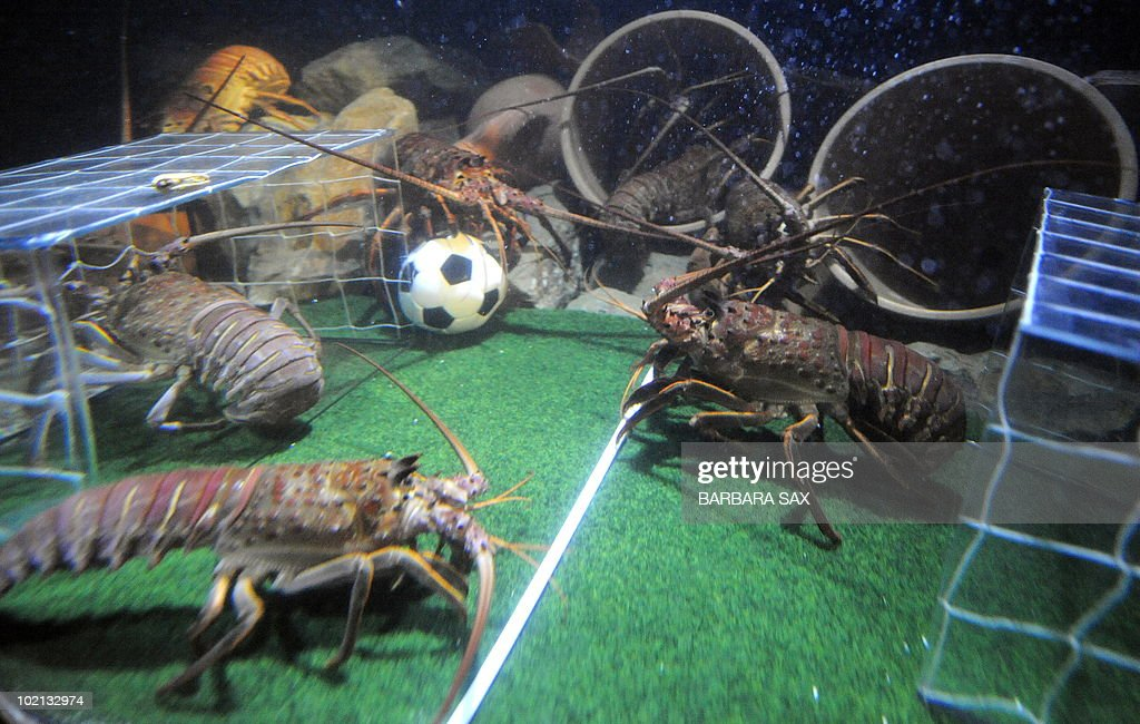 Langoustines fight for a football in their basin decorated like a soccer pitch on June 16, 2010 at the Sea Life aquarium in Berlin. During the FIFA Football World Cup which is taking place until July 11, 2010 in South Africa, the langoustines get every afternoon a small football filled with sardines in their aquarium.