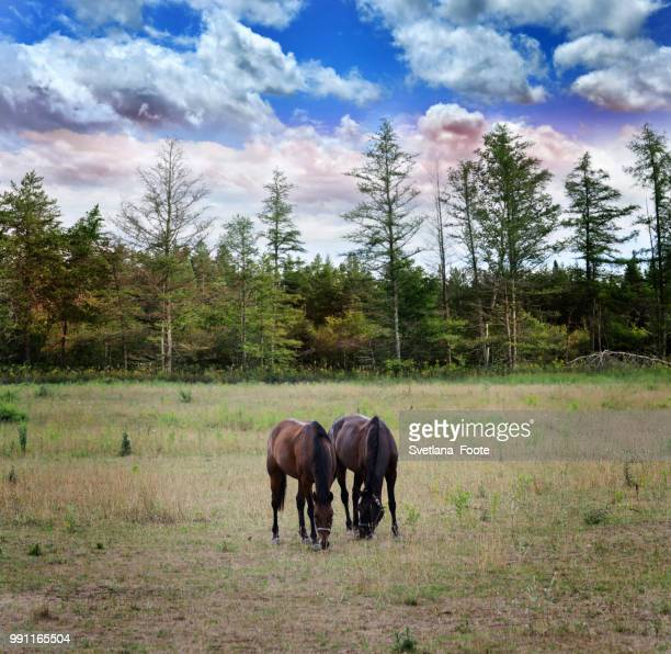 langscape with horses - svetlana stock photos and pictures