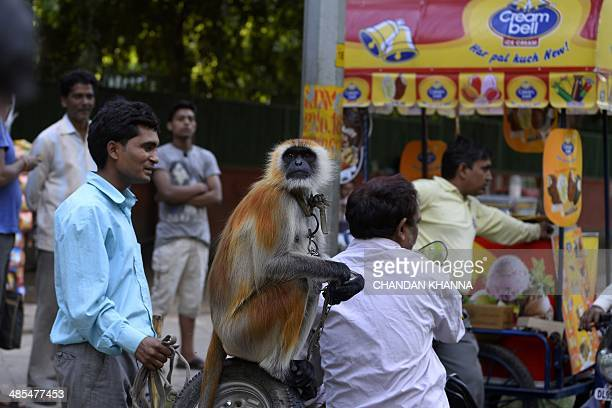 A langur is chained by his master as he takes a ride on the back of a scooter in New Delhi on April 18 2014 Monkeys and langurs are trained to...