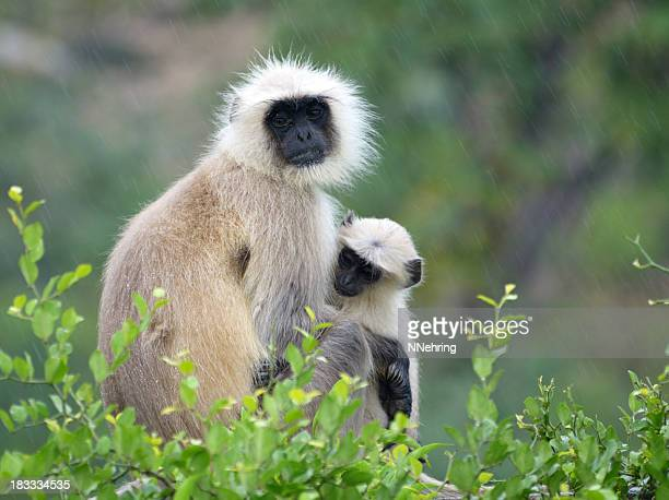 langur monkey with baby, semnopithecus dussumieri - ranthambore national park stock pictures, royalty-free photos & images