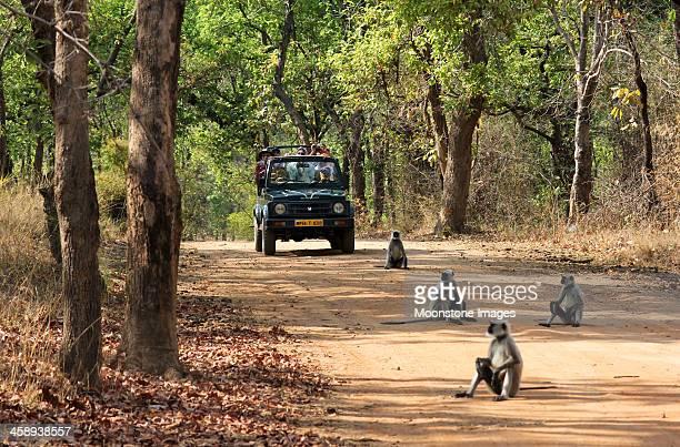 langur monkeys in bandhavgarh np, india - bandhavgarh national park stock pictures, royalty-free photos & images
