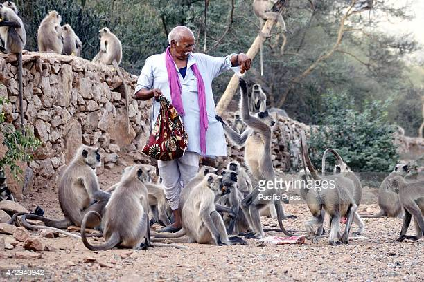 Langur monkeys take food handouts from an Indian pedestrian in pushkar In India monkeys are regarded as Lord Hanuman and are fed well in many regions
