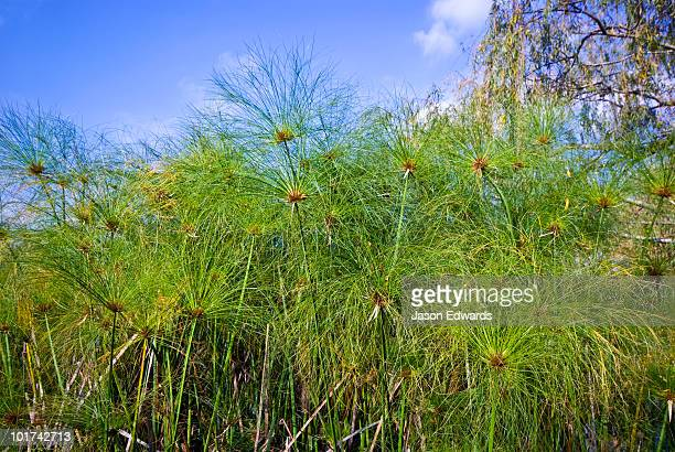 A large stand of Papyrus Sedge growing on the shore of a small lake.
