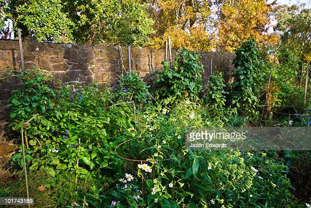 A walled garden with White Trumpet Flowers and blue Salvia flowers.