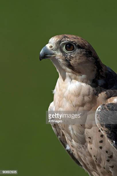 lanner falcon (falco biarmicus) - beak stock pictures, royalty-free photos & images
