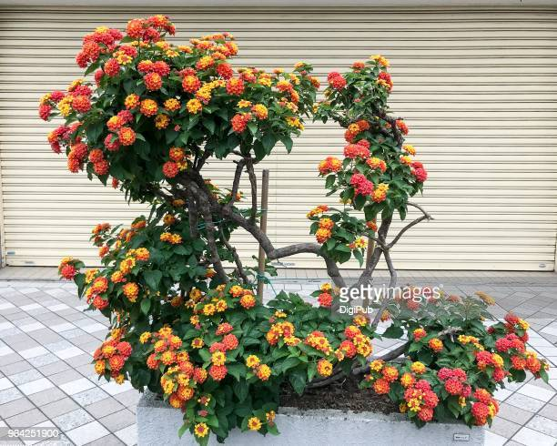 lantana blooming in planter on the street - lantana stock pictures, royalty-free photos & images