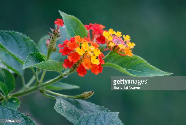 Lantana Camara blossoming
