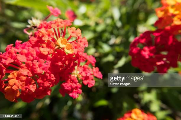 Lantana Camara Linn flower.