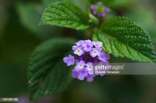 lantana flower in bloom - lantana stock pictures, royalty-free photos & images