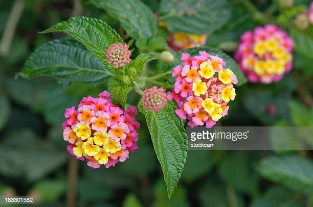 lantana flower mexico - lantana stock pictures, royalty-free photos & images