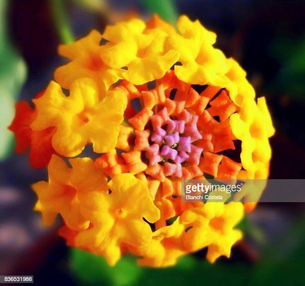 lantana in bloom - lantana stock pictures, royalty-free photos & images