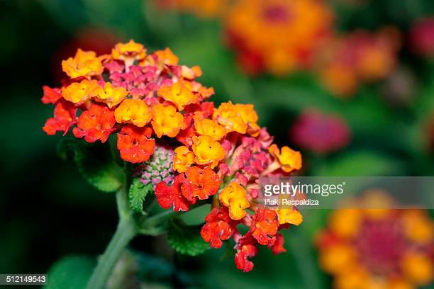 lantana - iñaki respaldiza stock pictures, royalty-free photos & images
