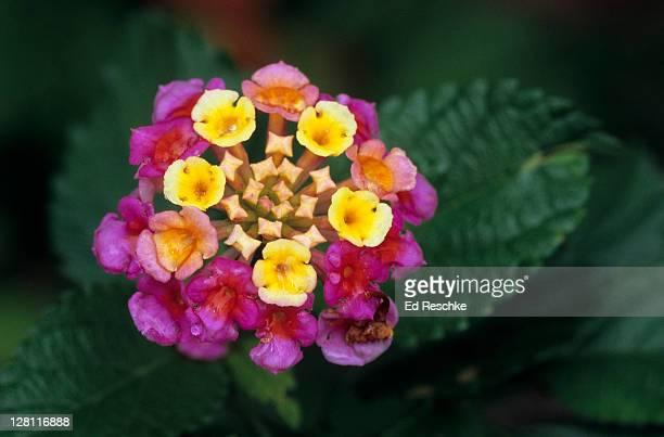 Lantana Pink Caprice. Lantana camara. Excellent butterfly plant, many cultivars. Corpus Christi, Texas. USA