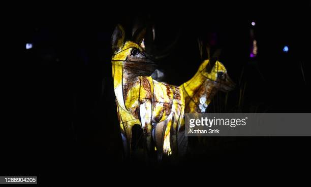 Lanterns are seen during the rehearsals of Chester Zoo light trail festival called 'The Lanterns' at Chester Zoo on December 01, 2020 in Chester,...