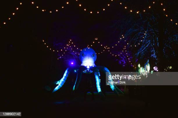 Lanterns of an Octopus looks on during the rehearsals of Chester Zoo light trail festival called 'The Lanterns' at Chester Zoo on December 01, 2020...