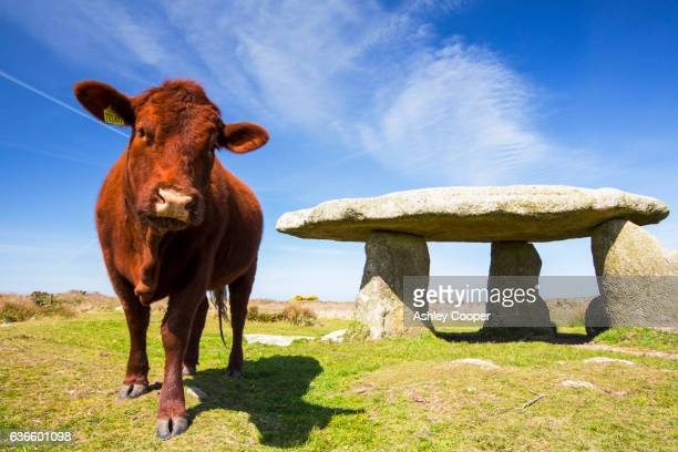 Lanyon Quoit, an ancient Dolmen near Morvah in West Cornwall, UK, with cattle.