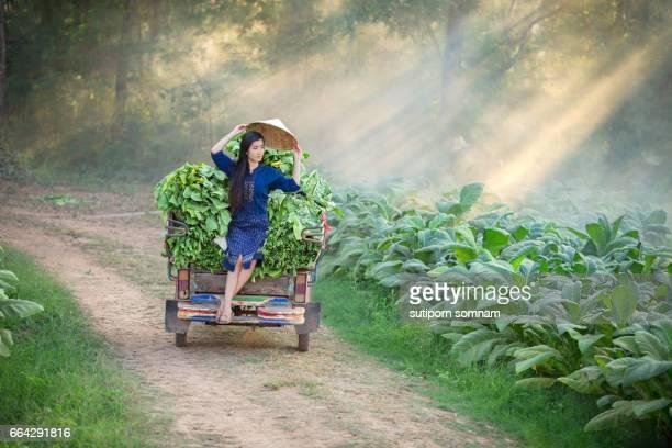 Lao woman is farming in the tobacco leaf field.