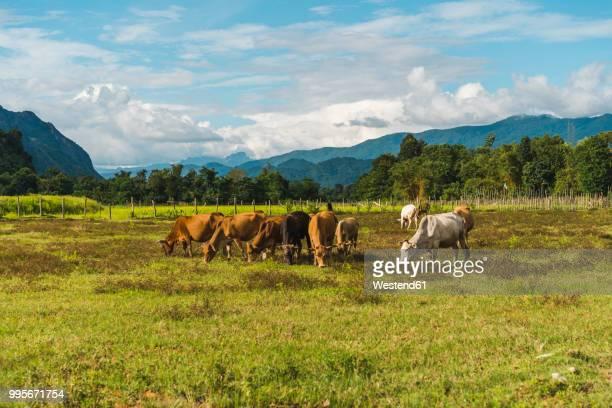 Laos, Vang Vieng, cows in field