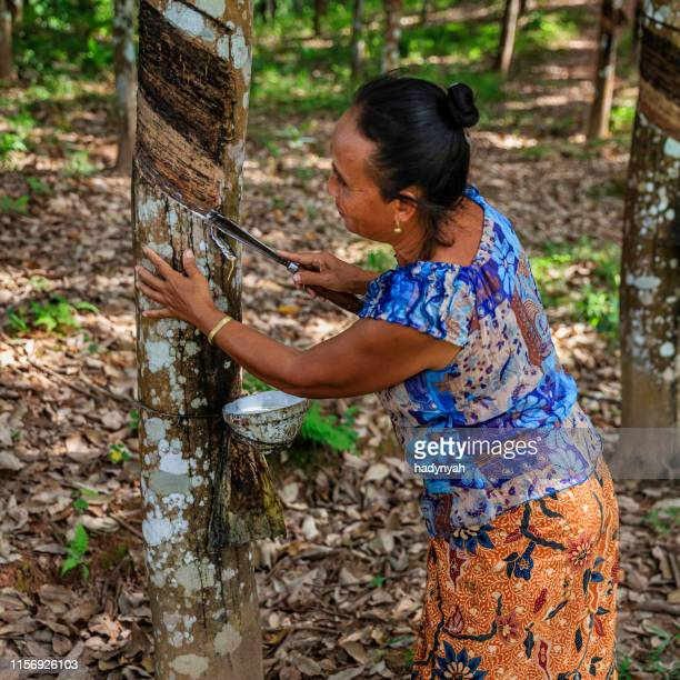 laotian woman collecting a latex from a rubber tree in northern laos - latex stock pictures, royalty-free photos & images