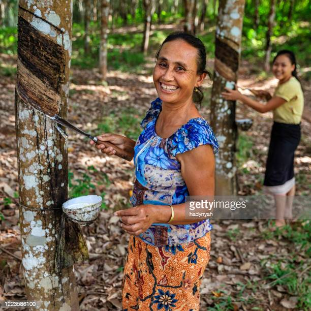 laotian woman collecting a latex from a rubber tree in northern laos - laotian culture stock pictures, royalty-free photos & images