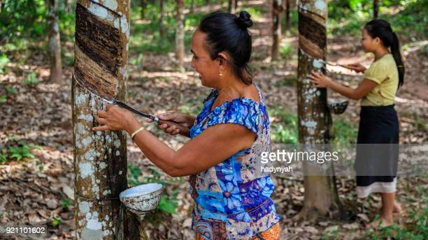 laotian woman collecting a latex from a rubber tree in northern laos - rubber stock pictures, royalty-free photos & images