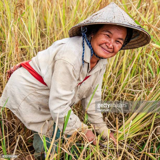 Laotische Frau Ernte Reis in Nordlaos