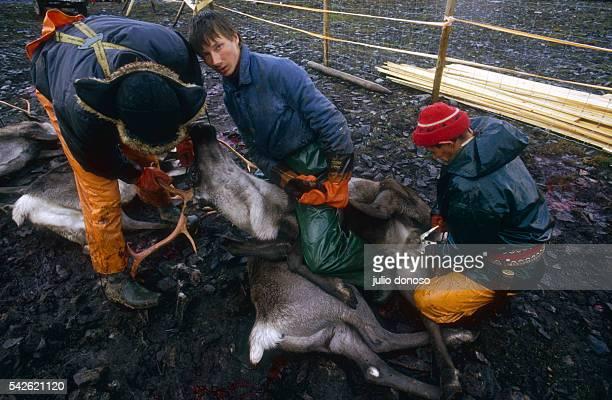 Laplanders felling reindeer Here a castration is performed using special pliers