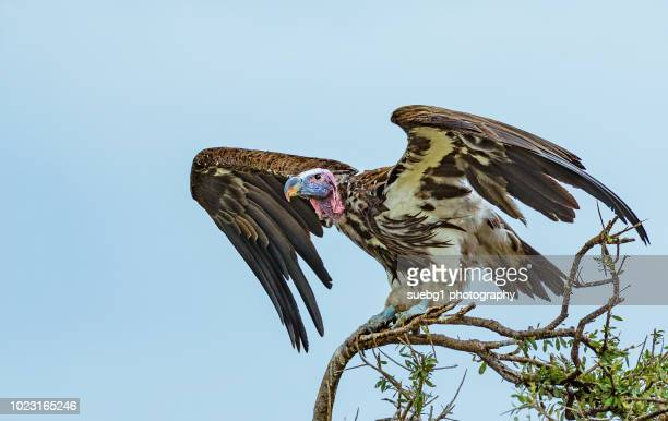 lappet faced vulture - perching stock photos and pictures