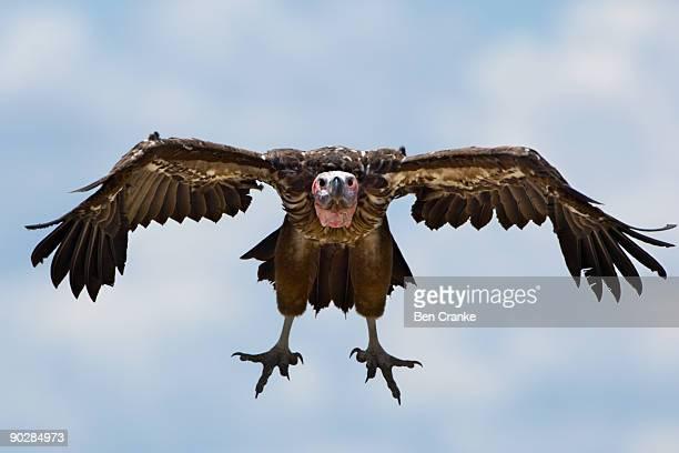 Lappet-faced Vulture (Torgos tracheliotos), Kenya