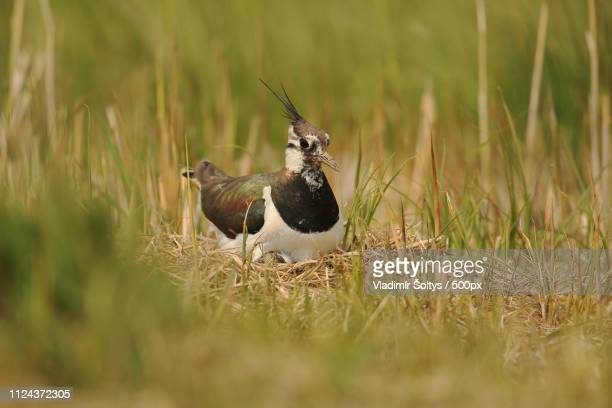 lapwing is sitting on the nest with eggs - royal tern stock photos and pictures