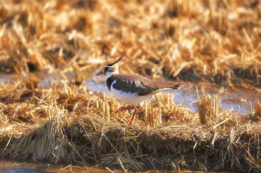 A Lapwing - gettyimageskorea
