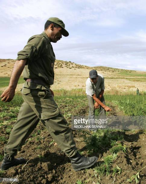 Farmers distroy cannabis plantations under Moroccan police supervision in the northern Moroccan Larache region 16 June 2006 Some 134000 hectares of...