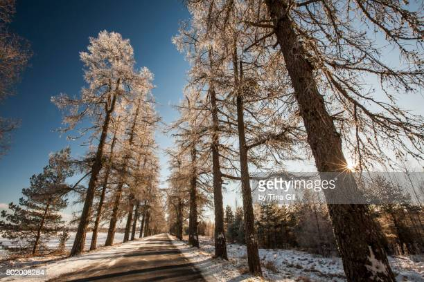 larch alley in winter - larch tree stock pictures, royalty-free photos & images