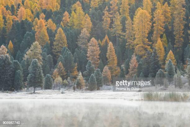 Larch and spruce forest at Stazersee Switzerland