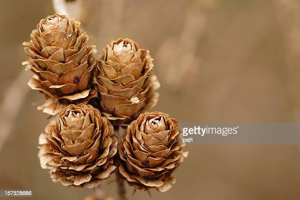 larch (larix decidua) cones quintet - pejft stock pictures, royalty-free photos & images
